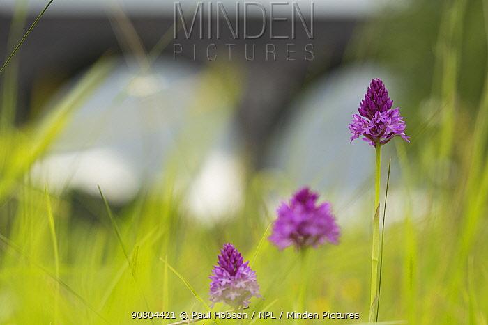 Pyramidal Orchid (Anacamptis pyramidalis), three flowers with railway viaduct in background. Sprotborough Flash, South Yorkshire, England, UK. June.