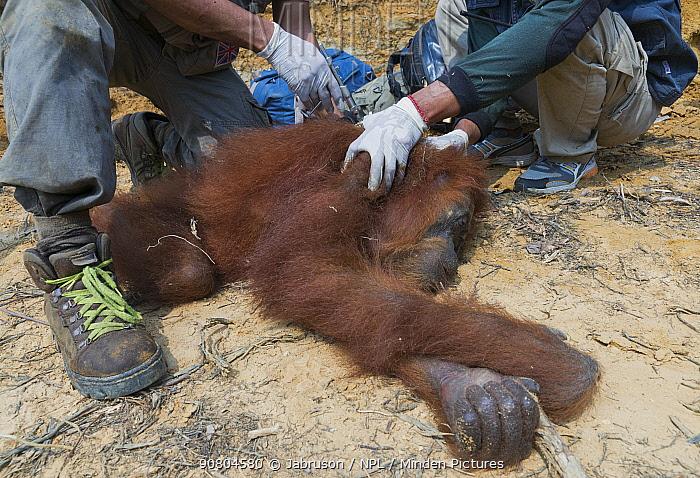 Sumatran orangutan (Pongo abelii) relocation capture. Mother and young reported to Human Orangutan Conflict Response Unit (HOCRU), as seen in isolated tree in an area being cleared for palmnut forest planting. Sei Serdang, Prima, Batang Serangan, Langkat, Northern Sumatra, Indonesia. Sumatran Orangutan Society.