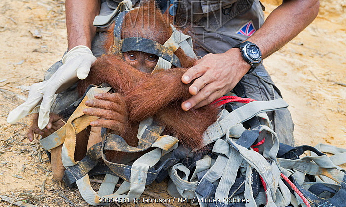 Sumatran orangutan (Pongo abelii) relocation capture. Young orangutan caught in strapping after being isolated in tree. Mother and young reported to Human Orangutan Conflict Response Unit (HOCRU), as seen in isolated tree in an area being cleared for palmnut forest planting. Sei Serdang, Prima, Batang Serangan, Langkat, Northern Sumatra, Indonesia. Sumatran Orangutan Society.