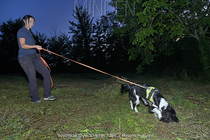 Sniffer dog Freya with Nikki Glover of Wessex Water hunting for Great crested newts (Triturus cristatus) in a meadow after dark, Somerset, UK, September 2018. Model released.
