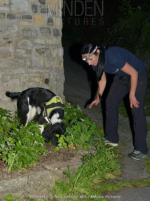 Sniffer dog Freya with Nikki Glover of Wessex Water hunting for Great crested newts (Triturus cristatus) in a flower bed after dark, Somerset, UK, September 2018. Model released.