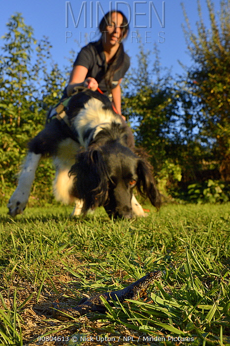 Nikki Glover of Wessex Water with sniffer dog Freya hunting for a Great crested newt (Triturus cristatus) placed on a lawn during a training exercise, Somerset, UK, September 2018. Model released.