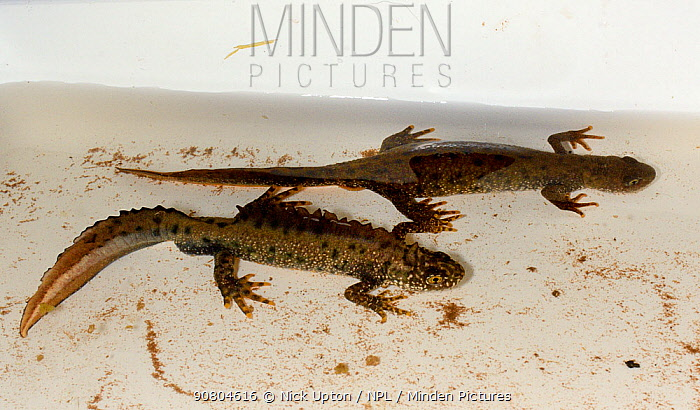 Male and female Great crested newts (Triturus cristatus) found during a nocturnal survey at a dew pond renovated by the Mendip Ponds Project, near Cheddar, Somerset, UK, April 2018.