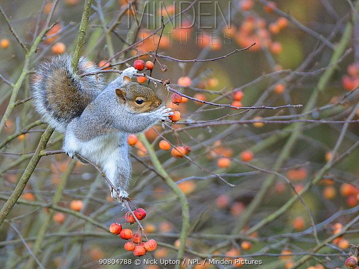 Grey squirrel (Sciurus carolinensis) reaching for Crab apple (Malus sylvestris) to eat, Wiltshire garden, UK, December.