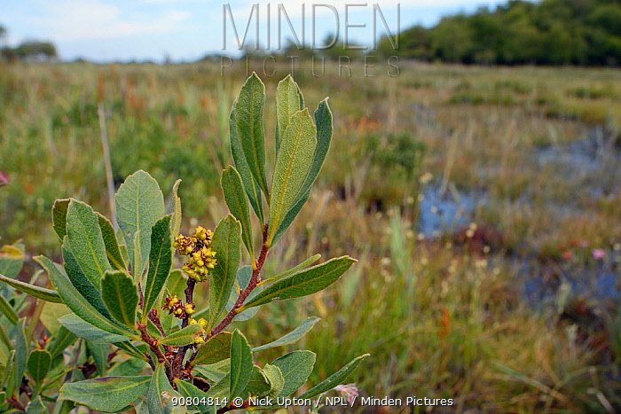 Bog myrtle / Sweet gale (Myrica gale) with ripening fruits in boggy area, Studland Heath, Dorset, UK, July.