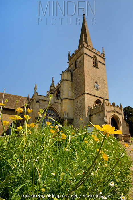 Common buttercups (Ranunculus acris) flowering in churchyard, Lacock, Wiltshire, UK, May.