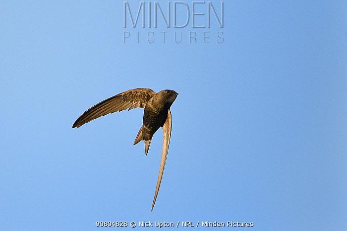 Common swift (Apus apus) flying overhead, Lacock, Wiltshire, UK, June.