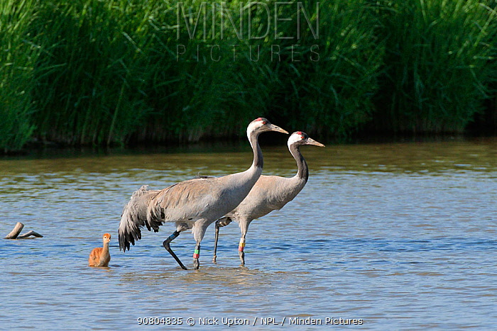 Common / Eurasian crane (Grus grus) pair 'Monty' and 'Sedge' released by the Great Crane Project in 2010, with their young chick in marshland pool, Slimbridge, Gloucestershire, UK, June 2018.