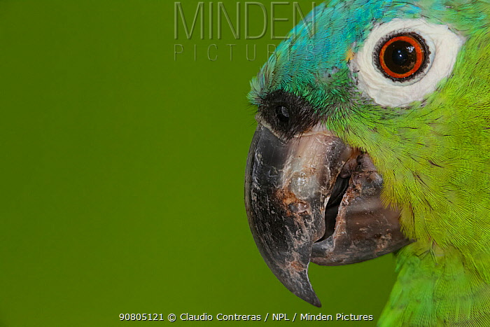 Northern mealy Amazon parrot (Amazona guatemalae), captive, Palenque, southern Mexico, July