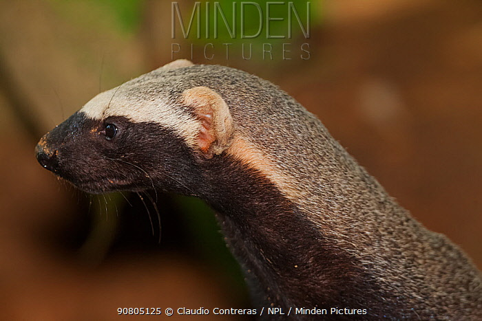 Greater grison (Galictis vittata), captive, Palenque, southern Mexico, July