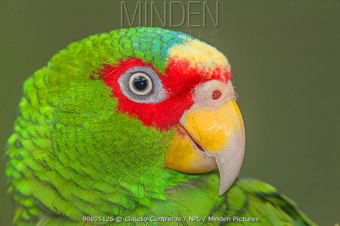 White-fronted Amazon parrot (Amazona albifrons), captive, Palenque, southern Mexico, July