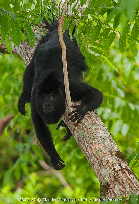 Mantled howler monkey (Alouatta pigra), Yaxchilan Natural Monument, Lacandon Rainforest, southern Mexico, July