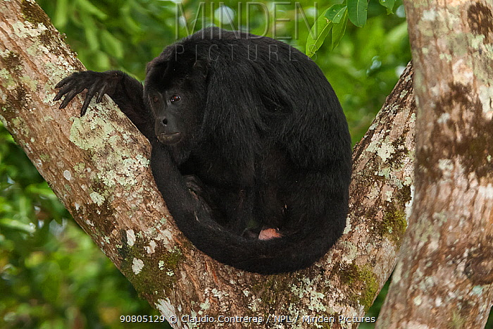 Mantled howler monkey (Alouatta pigra), Yaxchilan Natural Monument, Lacandon Rainforest, southern Mexico, July. Medium repro only