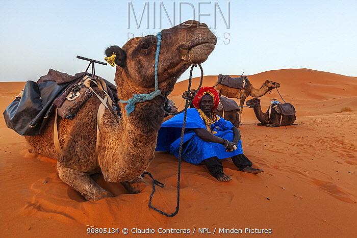 Guide and Arabian / Dromedary Camel (Camelus dromedarius) trekking, Erg Chebbi dunes near Merzouga, Sahara Desert, Morocco, October