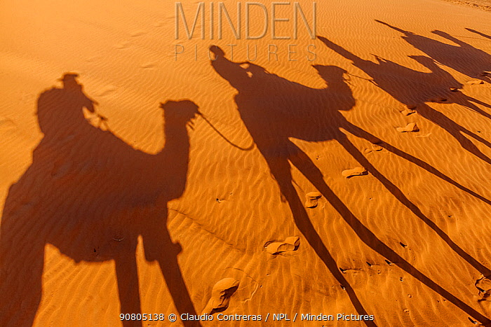 Shadows of tourists riding domestic Arabian / Dromedary Camel (Camelus dromedarius) on sand, Erg Chebbi dunes near Merzouga, Sahara Desert, Morocco, October