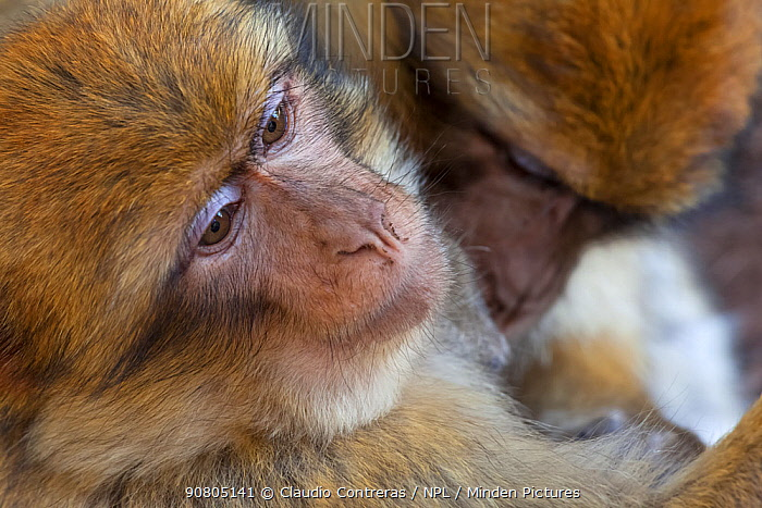 Barbary Macaque (Macaca sylvanus) grooming, Ifrane Forest National Park, Morocco, October