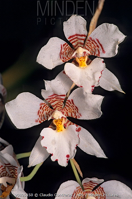 Cervantes' rhynchostele orchid (Rhynchostele cervantesii) flower. Cultivated, found in mixed pine-oak forest in western and southern Mexico, March