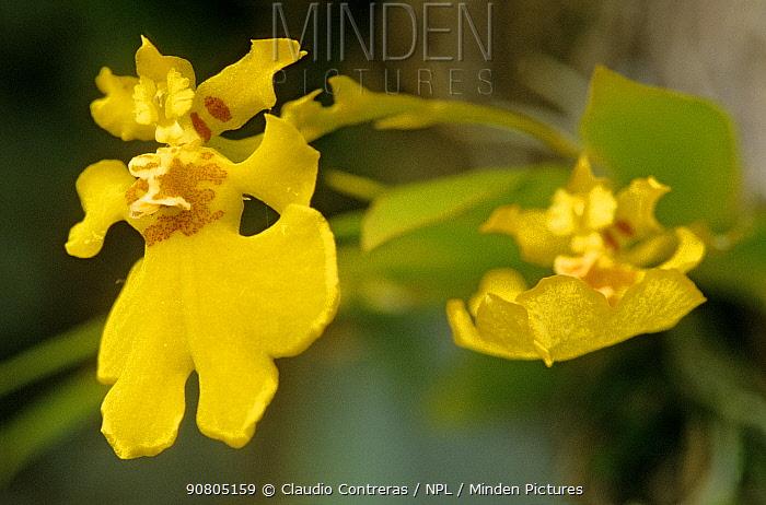 Orchid (Oncidium sp.), Lacandon Rainforest, Montes Azules Biosphere Reserve, southern Mexico, August