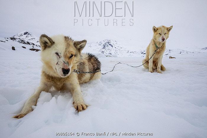 Greenland dog, two waiting on snow. Tasiilaq, East Greenland. April.
