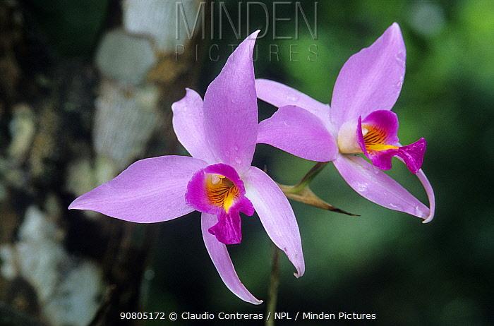 Two-edged laelia orchid (Laelia anceps) flower, El Cielo Biosphere Reserve, northeast Mexico, November