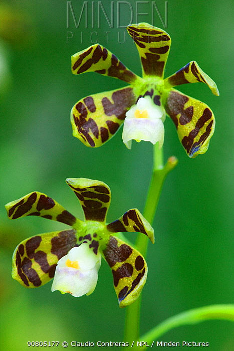 Dollar Orchid (Prosthechea boothiana) flower, Chicanna, Calakmul Biosphere Reserve, Yucatan Peninsula, Mexico, October