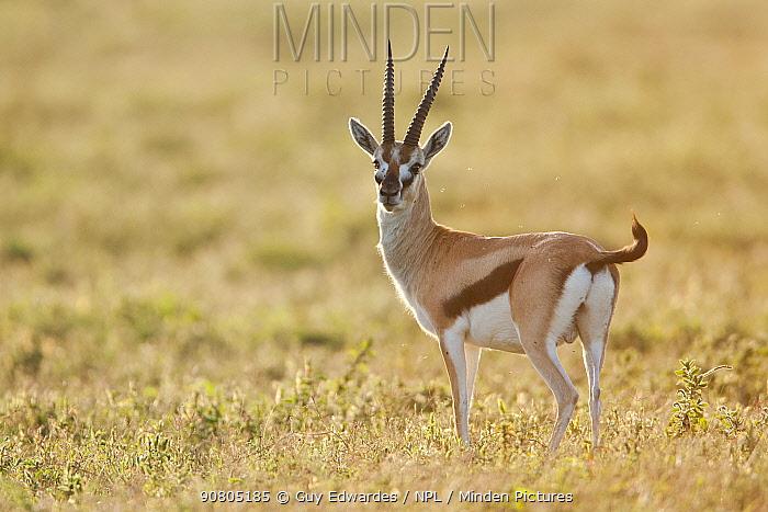 Thomsons gazelle (Eudorcas thomsonii), Ngorongoro Conservation Area, Tanzania
