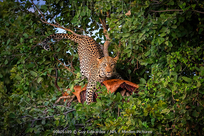 Leopard (Panthera pardus) with impala kill in tree, Savuti, Botswana.