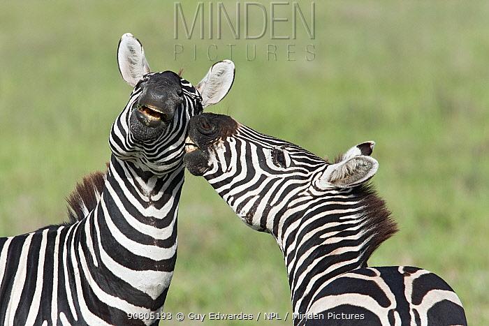 Pair of Zebra (Equus quagga) fighting in Serengeti National Park, Tanzania