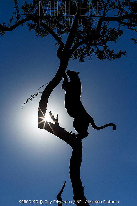 Leopard (Panthera pardus) climbing tree, silhouetted against the sun, Kruger National Park, South Africa.