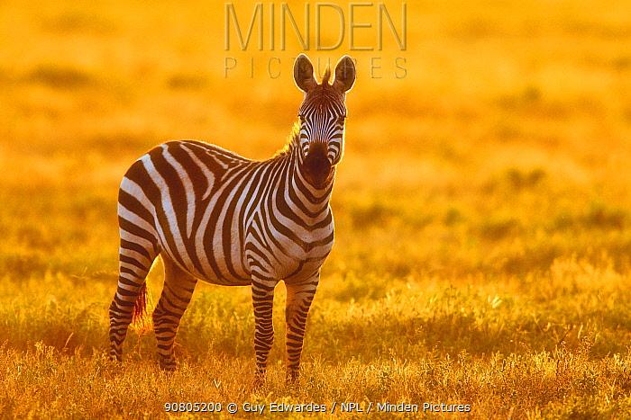 Plains zebra (Equus quagga), Serengeti, Tanzania, Africa