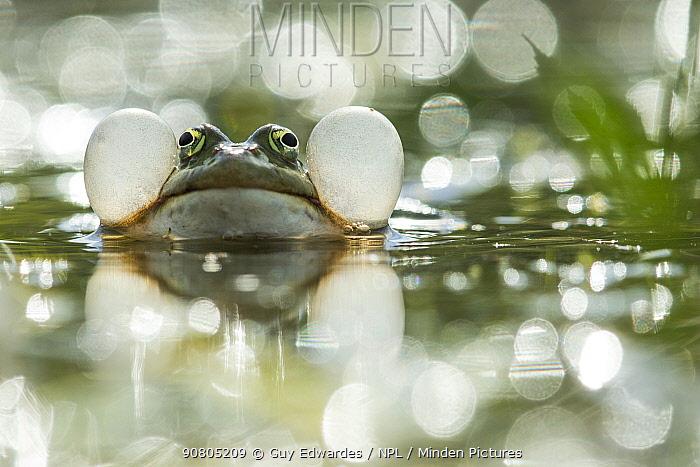 Marsh Frog (Pelophylax ridibundus) vocalising with bokeh effect in the background, Danube Delta, Bulgaria