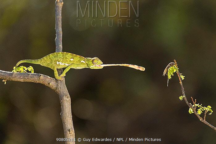 Flap-necked Chameleon (Chamaeleo dilepis) catching cricket, captive.