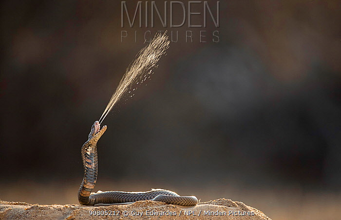 Mozambique Spitting Cobra (Naja mossambica) spitting venom. Kruger, South Africa. Controlled conditions.