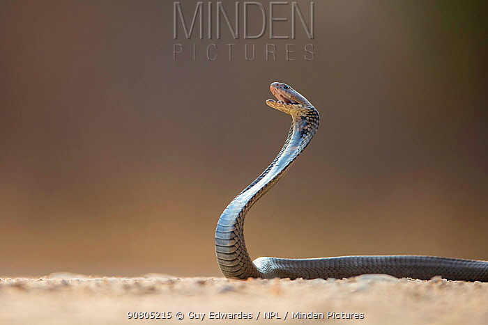 Mozambique Spitting Cobra (Naja mossambica) about to spit venom. Kruger, South Africa. Controlled conditions.