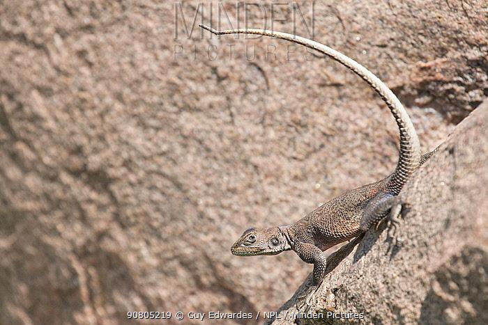 Mwanza flat-headed agama (Agama mwanzae) female,Serengeti National Park, Tanzania