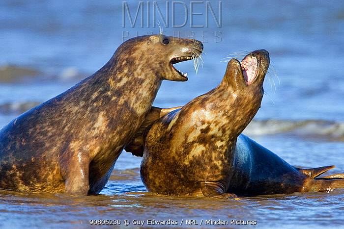 Grey seal (Halichoerus grypus) two females playing on beach at Donna Nook, Lincolnshire, England, UK, January.