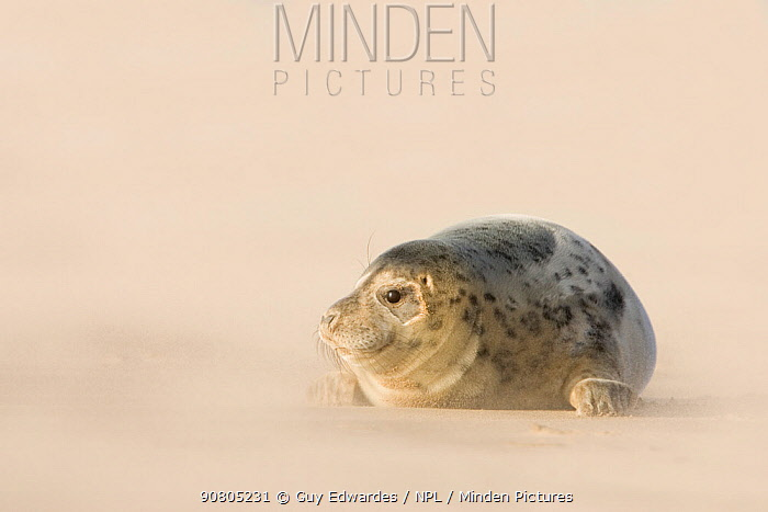 Grey Seal (Halichoerus grypus) pup on beach at Donna Nook, Lincolnshire, England, UK, January.