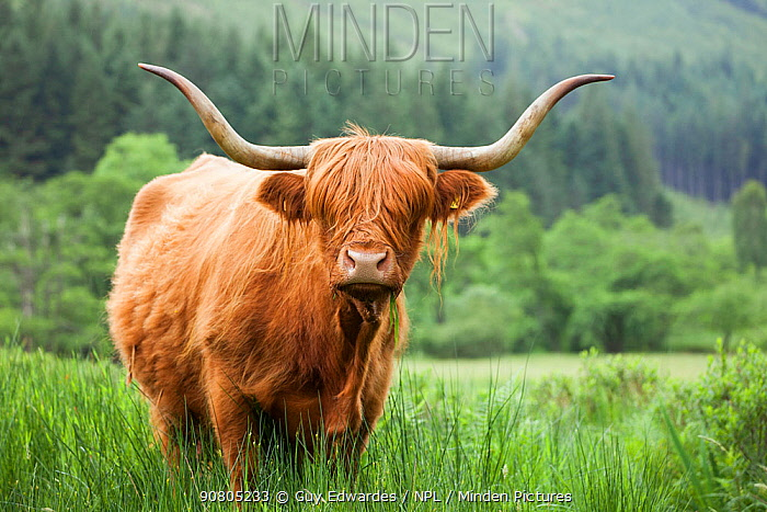Highland Cattle, Glen Nevis, Lochaber, Scotland, UK, June.