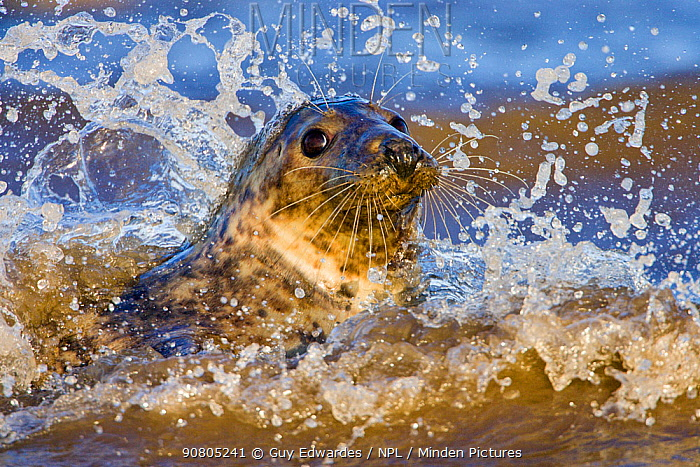 Grey Seal (Halichoerus grypus) playing in waves at Donna Nook, Lincolnshire, England, UK, January.