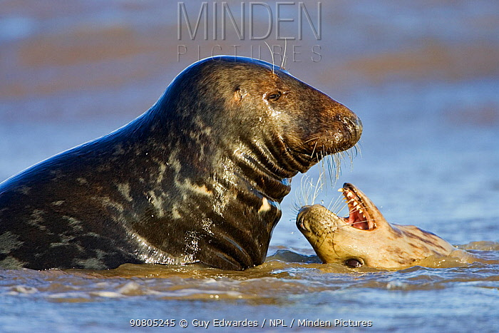 Grey Seal (Halichoerus grypus) male and female playing on beach, on beach at Donna Nook, Lincolnshire, England, UK, January.