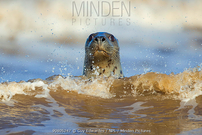 Grey Seal (Halichoerus grypus) on beach at Donna Nook, Lincolnshire, England, UK, , December.