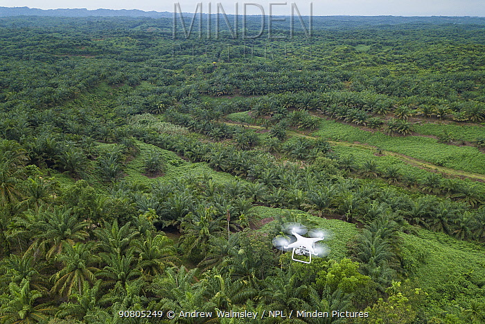 Aerial view of Oil palm (Elaeis guineensis) tree plantations taken with drone. North Sumatra. September 2018.