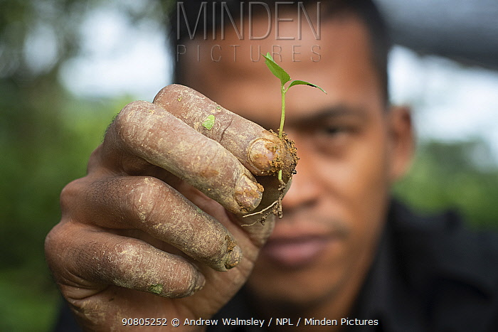 Conservation worker showing seedling rainforest plant, grown in nursery to restore rainforest habitat to former palm oil plantations. Restoration work carried out by staff from the Orangutan Information Centre, North Sumatra. . September 2018