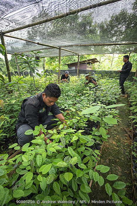 Rainforest plants grown in nursery to restore rainforest habitat to former palm oil plantations. Restoration work carried out by staff from the Orangutan Information Centre, North Sumatra. . September 2018