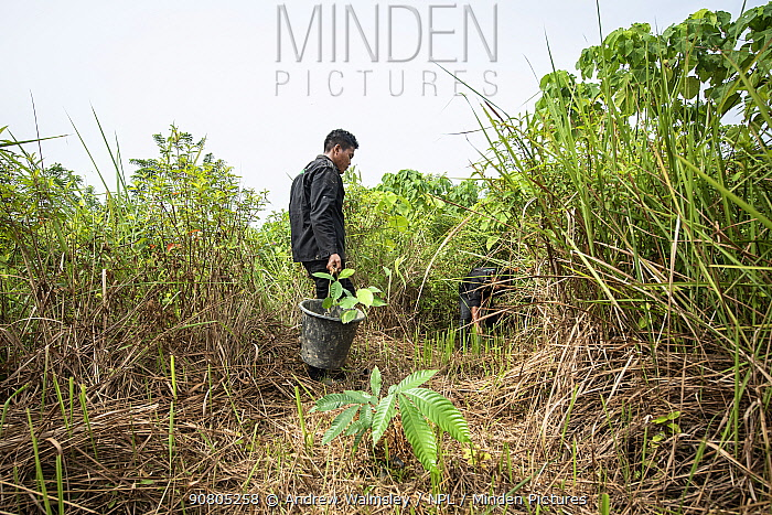 Rainforest restoration work by staff from the Orangutan Information Centre, North Sumatra. Oil palms are cleared from purchased land, often former illegal plantations, then plants grown from seed collected in nearby primary forest are planted in carefully mapped patterns to create new rainforest. September 2018.