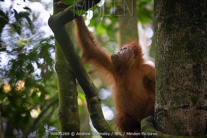 Sumatran orangutan male (Pongo abelii) juvenile, Bukit Lawang, North Sumatra.