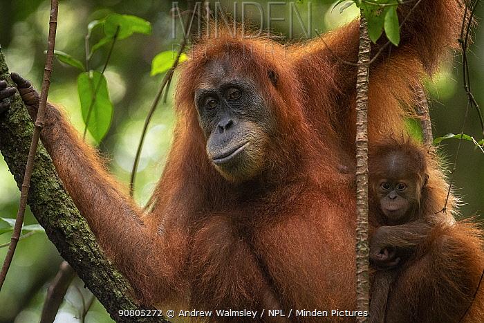 Sumatran orangutan (Pongo abelii) mother and baby Bukit Lawang, North Sumatra.