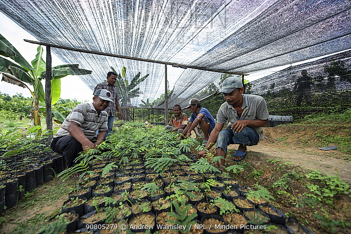 Conservation workers growing rainforest plants to restore palm oil plantations to rainforest habitat. Restoration work carried out by staff from the Orangutan Information Centre, North Sumatra. September 2018.