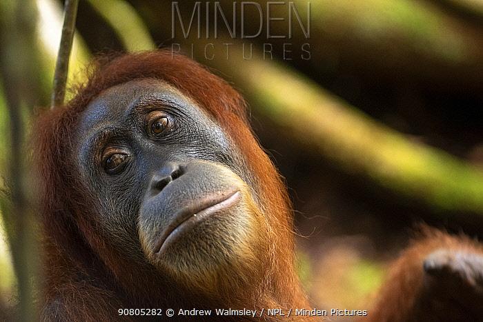 Sumatran orangutan (Pongo abelii) adult female, Bukit Lawang, North Sumatra. September.