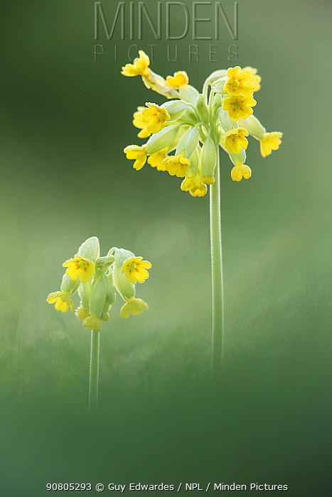 Cowslip (Primula veris), Hardington Moor NNR, Somerset, UK.